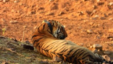 Photo of Visit Tadoba to meet with Tigers
