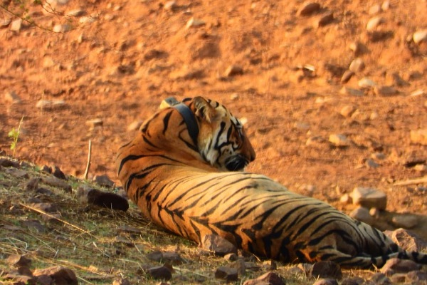 Visit Tadoba to meet with Tigers